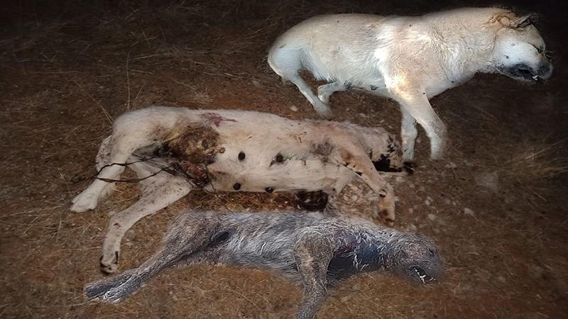 Burdur/ Bucak'ta köpek katliamı